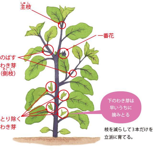 画像: 枝を減らして3本だけを立派に育てる。