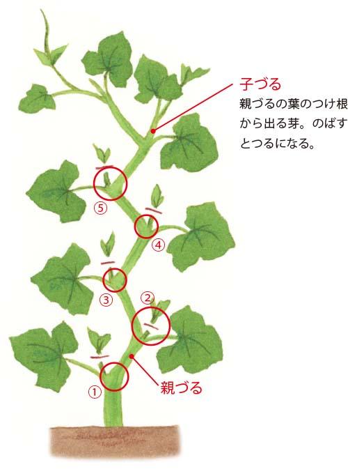 画像1: 重要! 5節目までは、子づるや花を切り落とす
