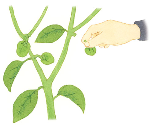 画像: ココが決め手! 実を多くつけると勢いが衰える 「なり疲れ」に。こまめに収穫を
