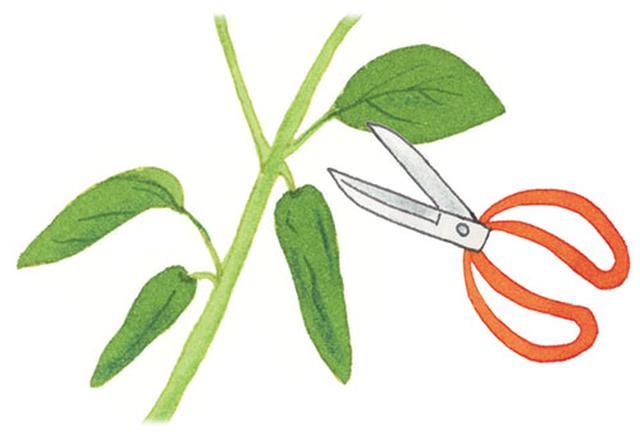 画像: ハサミで収穫