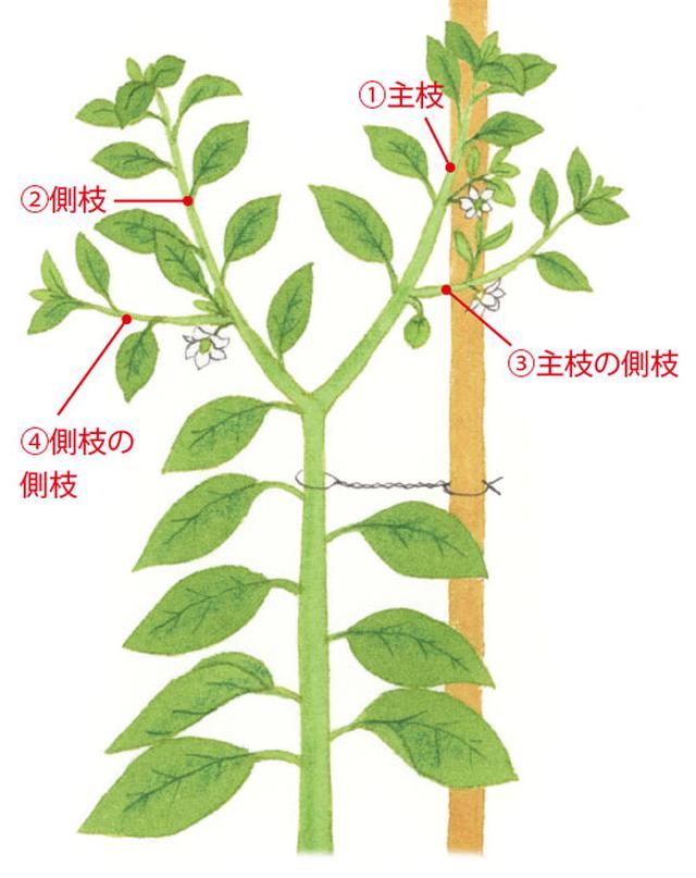画像: 主枝とそこから出た側枝1本、側枝とそこから出た側枝1本の計4本のみを残して育てる。