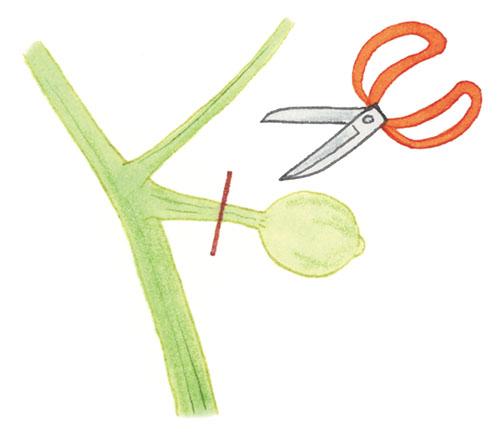 画像: 摘果する