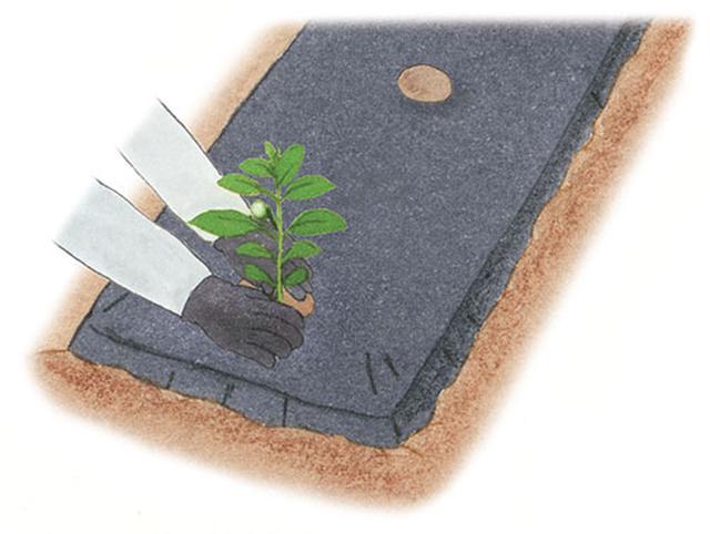 画像: ①植えつけ