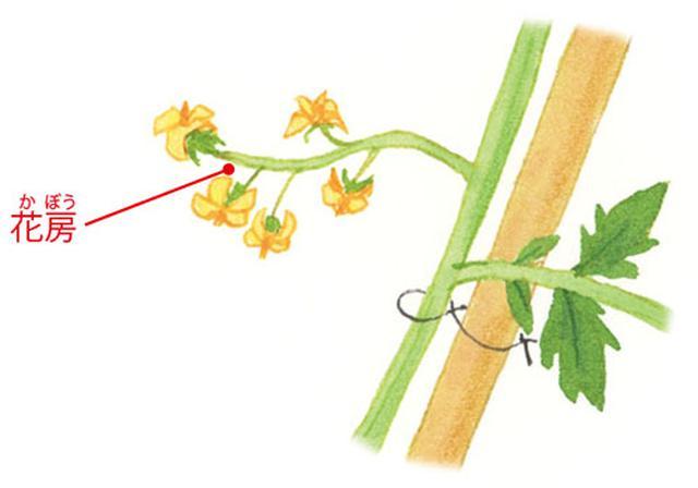 画像: 重要! 花房のすぐ下につく葉の下に ひもをかけて誘引