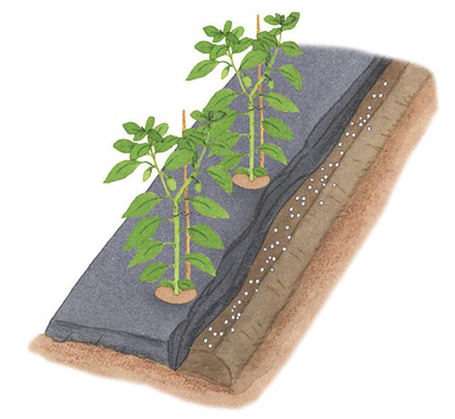 画像: マルチを外して、畝の肩に化成肥料を均一にばらまいて土に混ぜ込む。その後、マルチは元に戻す。