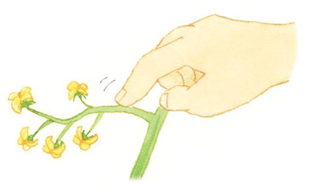 画像: 指で花房のつけ根を軽くたたいて受粉させる。