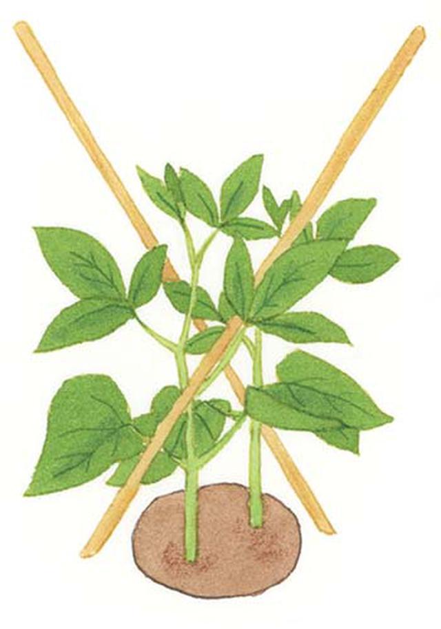 画像: 草丈10㎝になったら細い茎が風で 振り回されないように支える