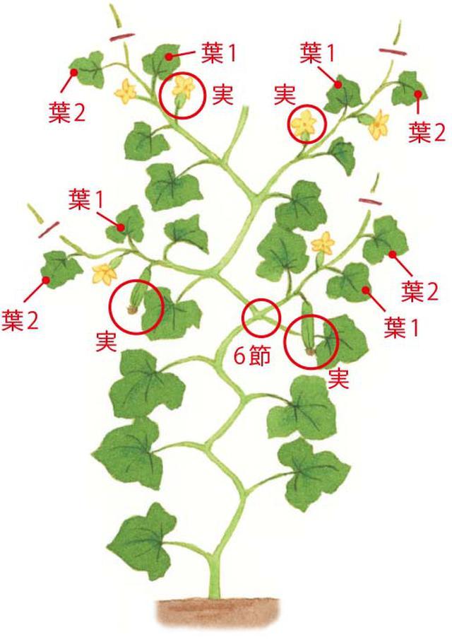 画像2: 重要! 5節目までは、子づるや花を切り落とす