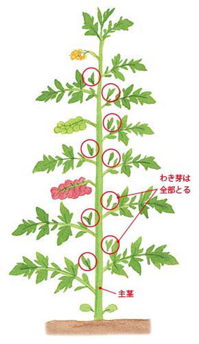 画像: 茎と葉の間から出てくるわき芽は、小さいうちにすべて摘みとり、主茎1本のみをのばす。