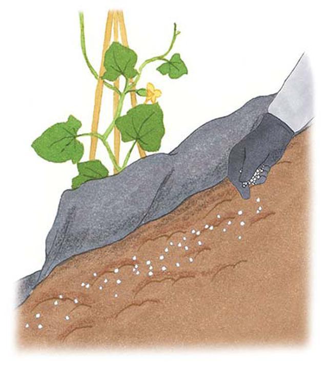 画像: 黒マルチのすそを上げて、根から少し離れた場所に化成肥料をばらまく。肥料に土をかけてマルチを戻す。