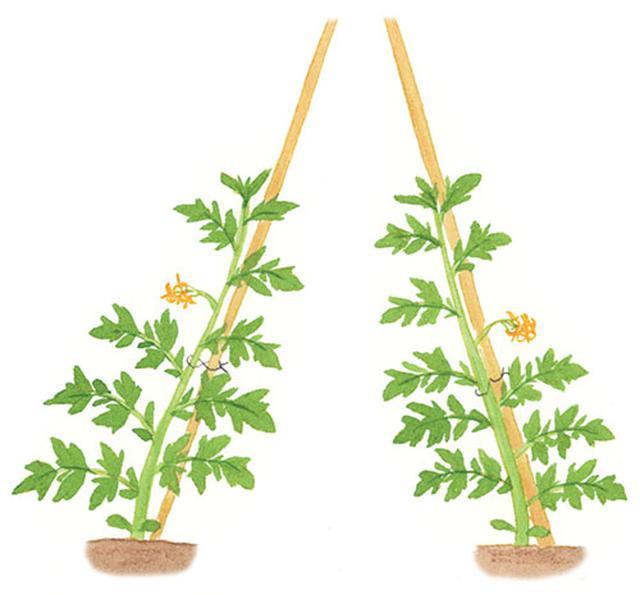画像: 茎は生長とともに太くなるので、ひもをかけるときは、茎側には余裕を持たせて回しかけ、2~3回ねじってから支柱に回しかける。支柱側はしっかり締めて蝶結びにする。