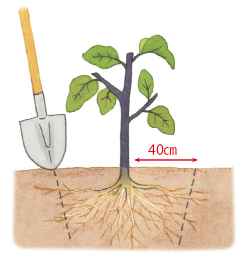 画像: 地上部のあと根も切る