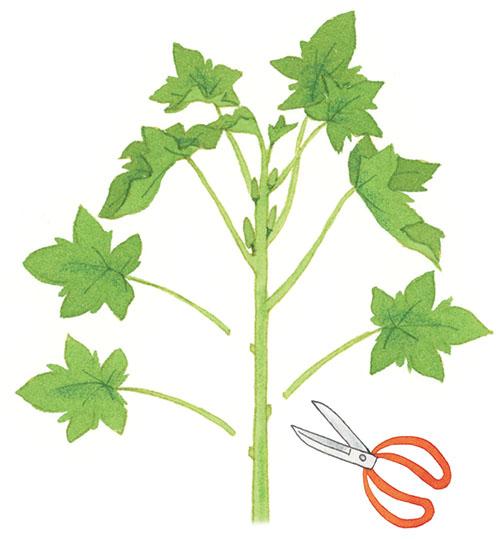 画像: 重要! 収穫したら下の葉を落とすと 長く収穫できる