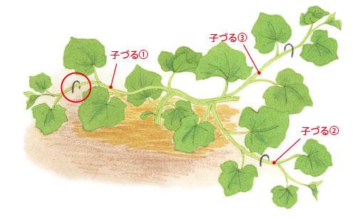 画像1: 重要! 茎をUピンで地面にとめる