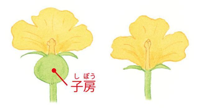 画像: (左)雌花 (右)雄花