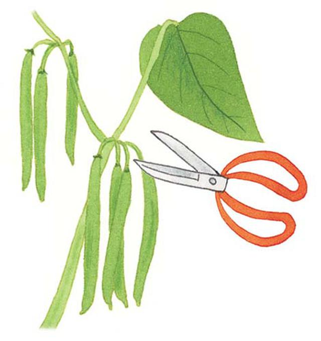 画像: 大きくなったものから、サヤのつけ根をハサミで切りとる。