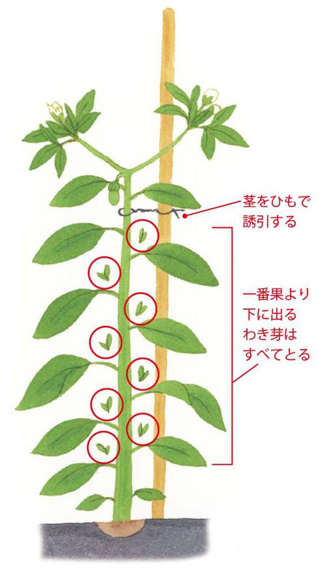画像: 150㎝の支柱を、土中に深さ40~50㎝までまっすぐさし込んで、ひもで茎を支柱に結ぶ(誘引)。一番果より下から出るわき芽は、すべて手で摘みとる。