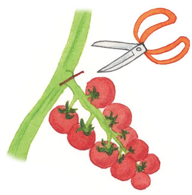 画像: 1つずつ摘みとりますが、中玉トマトは房ごとハサミで切って収穫してもよい。