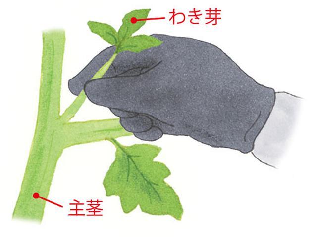 画像: 重要! 葉の根元から出る芽を摘みとる