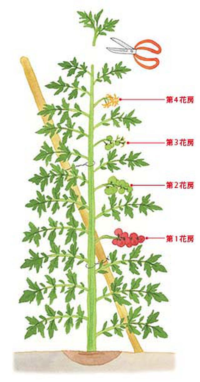 画像: 主茎が支柱を越えたら、花房の上に2〜3枚の葉を残して、先端をハサミで切る。