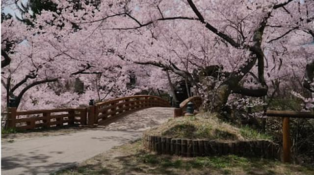 画像: 信州伊那高遠さくらまつりの桜 takato-inacity.jp