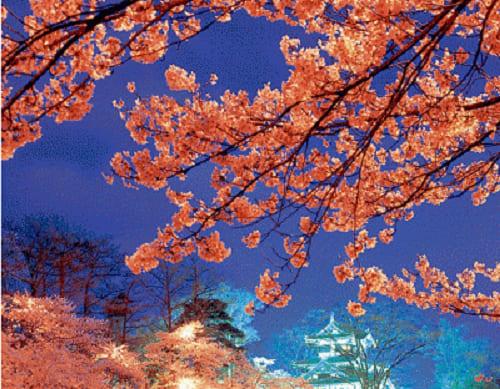 画像: 高田城祉観覧会の桜 www.joetsu-kanko.net