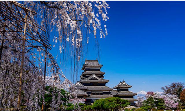 画像: 国宝松本城の春のイベントの桜 www.matsumoto-castle.jp