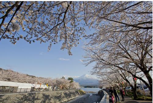 画像: 富士・河口湖さくら祭りの桜 kawaguchiko.net