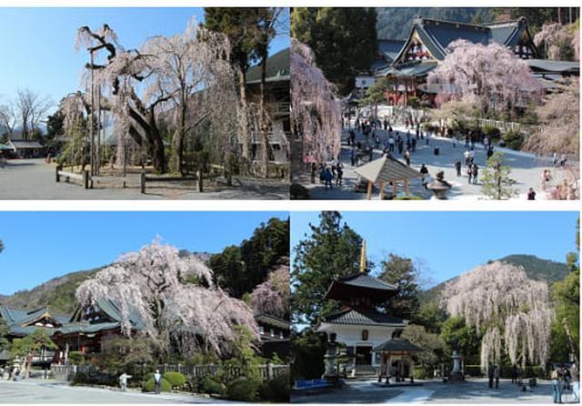 画像: 身延町身延山久遠寺のしだれ桜 www.town.minobu.lg.jp