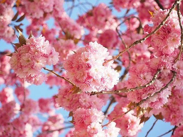 画像: 信濃川やすらぎ堤緑地の桜 www.city.niigata.lg.jp