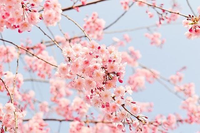 画像: 甲信越の桜を7選ご紹介!(写真はイメージ/Pixabay)
