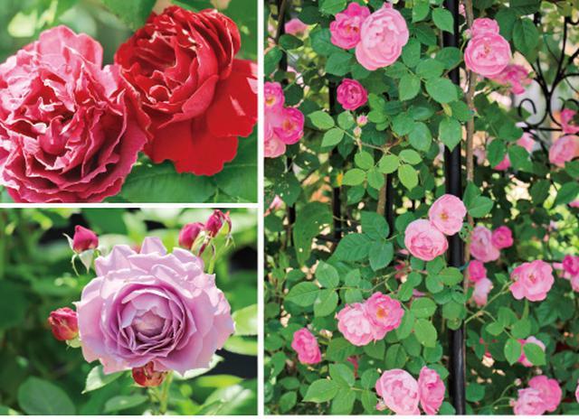 画像: やっぱり憧れは バラの庭