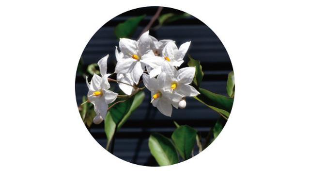 画像6: POINT フェンスに美しく絡むつる性植物