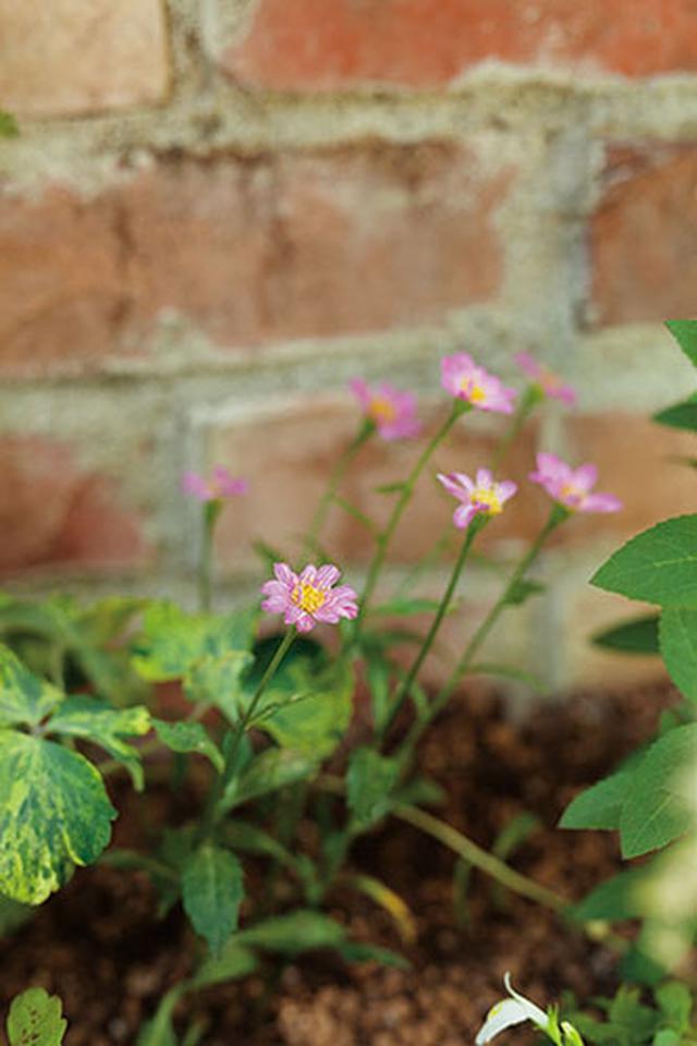 画像3: 切り花にもおすすめの草花