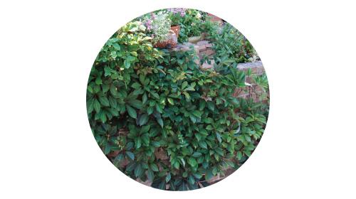 画像1: POINT フェンスに美しく絡むつる性植物