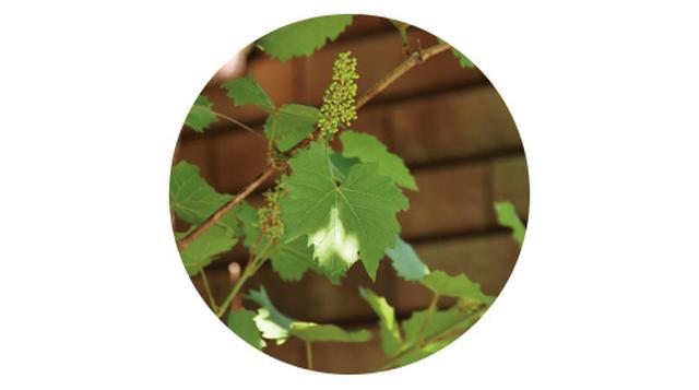 画像3: POINT フェンスに美しく絡むつる性植物