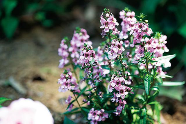 画像1: 花壇で長く花を楽しめる草花