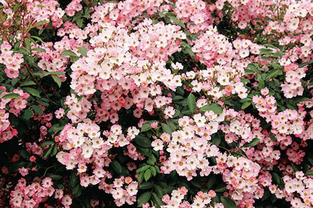 画像1: 小さな庭の植物カタログ はじめてバラを育てる人におすすめの品種