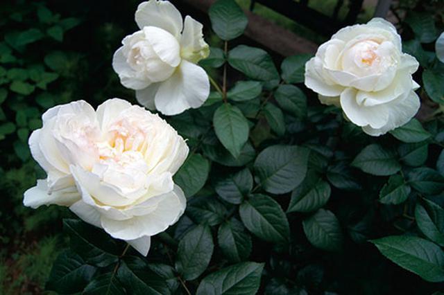画像4: 小さな庭の植物カタログ はじめてバラを育てる人におすすめの品種