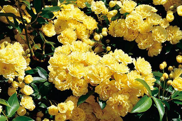 画像3: 小さな庭の植物カタログ はじめてバラを育てる人におすすめの品種