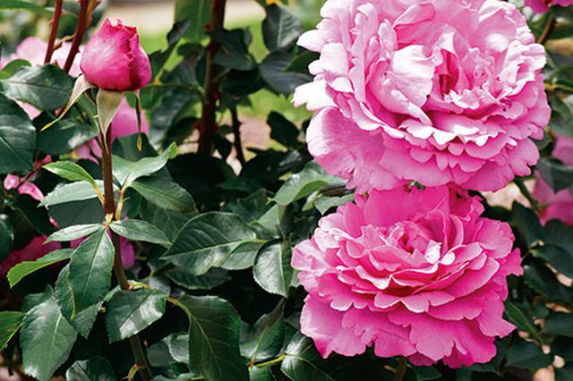 画像5: 小さな庭の植物カタログ はじめてバラを育てる人におすすめの品種
