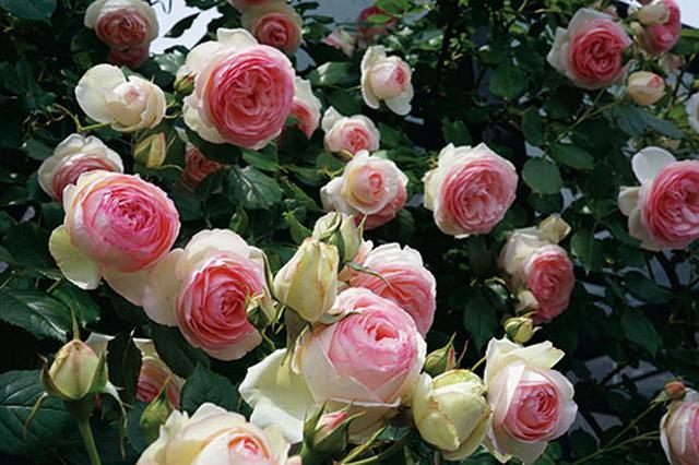 画像2: 小さな庭の植物カタログ はじめてバラを育てる人におすすめの品種