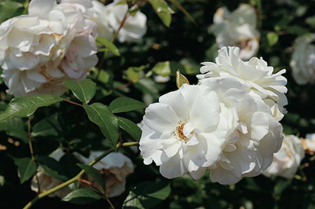 画像6: 小さな庭の植物カタログ はじめてバラを育てる人におすすめの品種