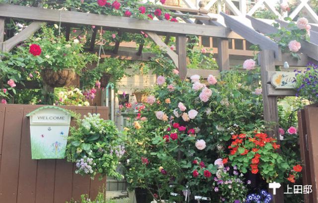 画像3: 小さな庭に最適! 一株のつる性バラで優美なローズガーデンに!