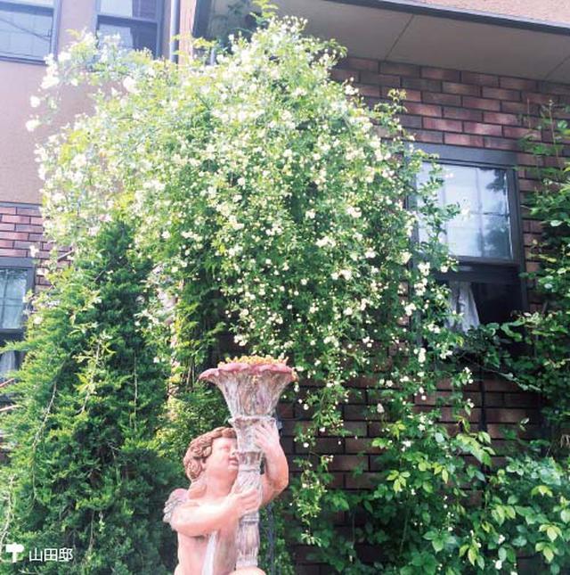 画像1: 小さな庭に最適! 一株のつる性バラで優美なローズガーデンに!