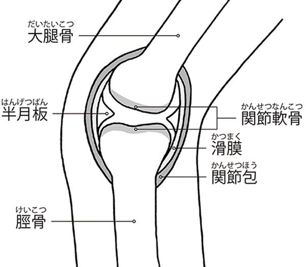 画像: ひざ関節の構造(横から見たところ)