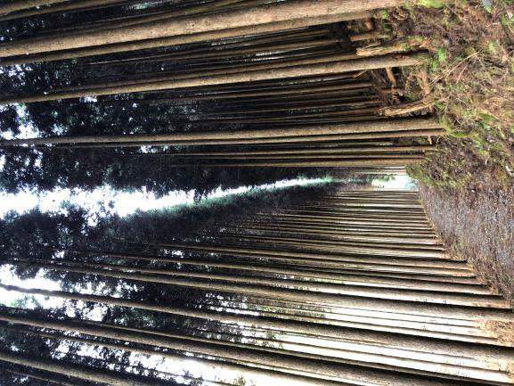 画像: ため息が出るほど美しい北山杉の群生。