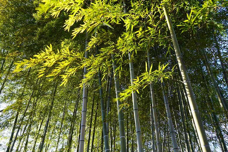 画像: 風で葉が揺れる竹林を見上げるように狙う。ISO感度を常用範囲の最低値100に設定し、の絞りがめいっぱい絞り込まれる少し手前(F16)になる「1/8秒」に設定して撮影。しかし、この程度の低速シャッターでは、風で揺れる葉が十分にはブレていない。