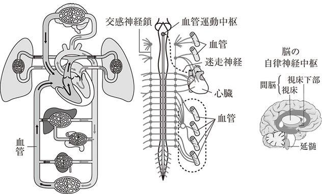 画像: 脳の自律神経センターが指令を出し血流を確保する。