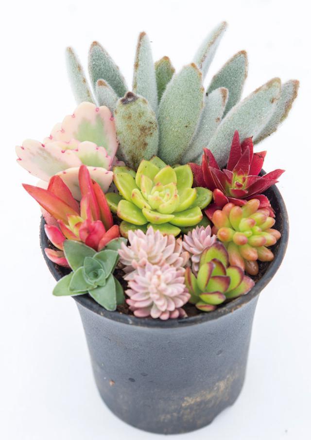 画像: 寄せ挿しで楽しむ。長く育てたいなら1〜2か月後にそれぞれの苗を鉢に植え替える。